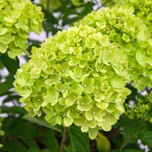 Bugás hortenzia LITTLE LIME ® (K2)