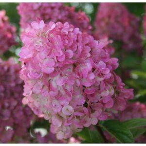 Bugás hortenzia SUNDAE FRAISE ® (K2)