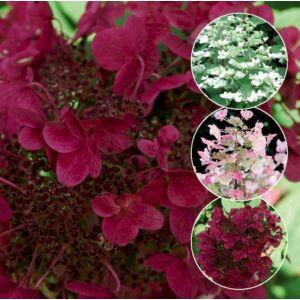 Bugás hortenzia (Hydrangea paniculata) WIM'S RED ® (K2)