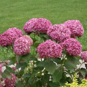 Cserjés hortenzia INVINCIBELLE (K3)