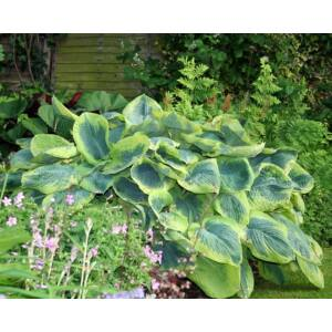 Árnyékliliom (Hosta) - Francess Williams