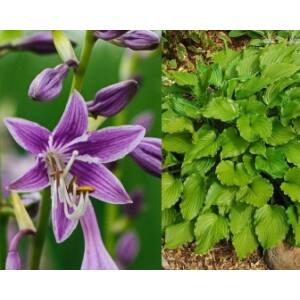 Árnyékliliom (Hosta) - Purple Sensation