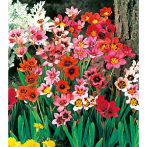 Cigányvirág (Sparaxis) színkeverék (min. 5 db)