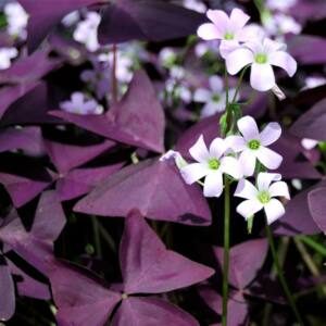 OXALIS TRIANGULARIS - Madársóska
