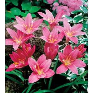 ZEPHYRANTHES - Zefírvirág (pink) [ELFOGYOTT, csak 2022 tavaszán lesz újra kapható!]