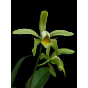 Cattleya forbesii 'alba'