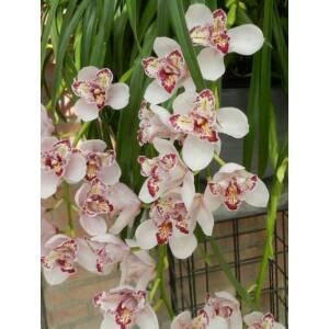 Cymbidium Surveley 'The Joker'