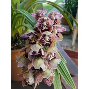 Cymbidium Vogel's Magic Waikanae