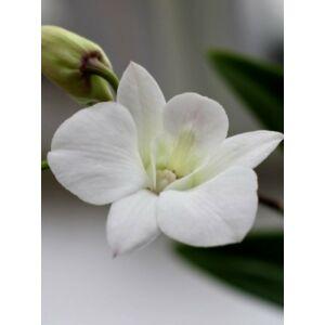 Dendrobium Sa-Nook 'Coconut Dream'