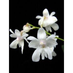 Dendrobium abberans