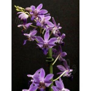 Doritaenopsis Purple Gem 'Aida' (Fiatal növ.)