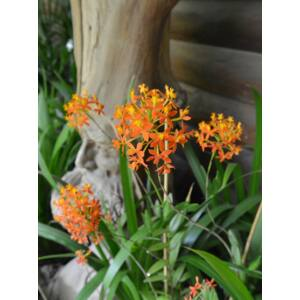 Epidendrum Ballerina 'Orange' (1 virághajtás)