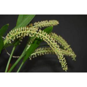 Liparis condolybulbon (2-3 virágszár)