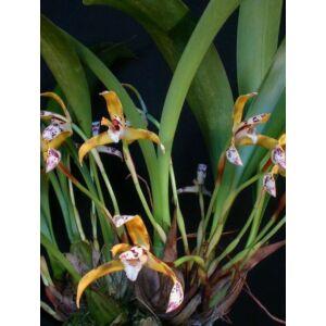 Maxillaria picta