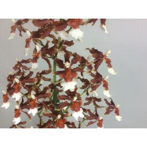 Miltonidium Honey (1 virágszár)