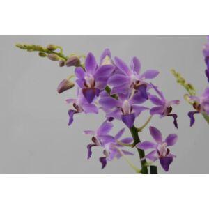 Doritaenopsis Aida (1 virághajtás)