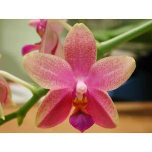Phalaenopsis Liodoro (1 virághajtás)