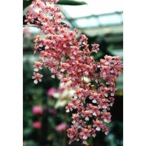 Oncidium ornithorhynchum (2-3 virághajtás)