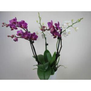 Phalaenopsis Confetti (3-4 virágszár)