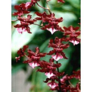 Oncidium Sharry Baby 'Sweet Fragrance'
