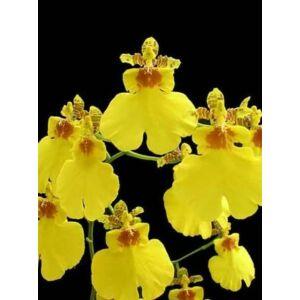 Oncidium Sweet Sugar (Fiatal növ.)