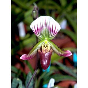 Paphiopedilum thailandense