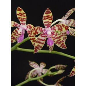 Phalaenopsis bastianii (Fiatal növ.)