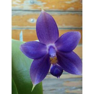 Phalaenopsis violacea Indigo Blue