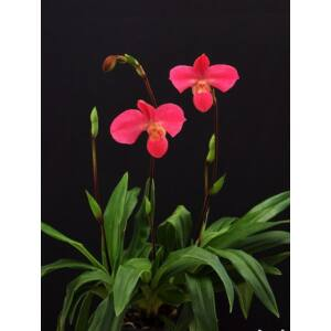 Phragmipedium Fritz Schomburg