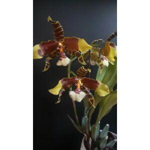 Rossioglossum Rawdon Jester (1 virághajtás)