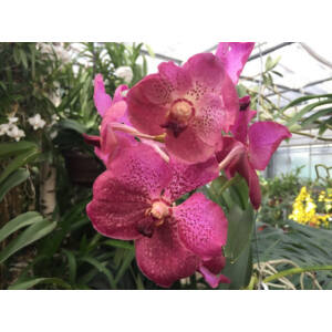 Vanda Fuchsia Red