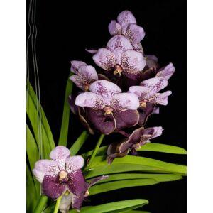 Vanda Two Tone Lavendel