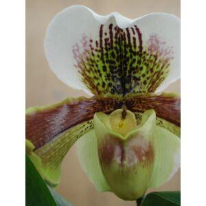 Paphiopedilum Hybride (Fiatal növ.)