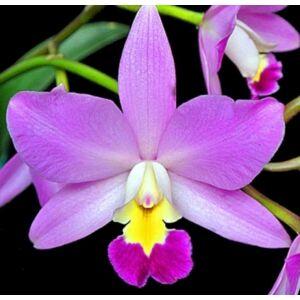 Blc. Cute Lady 'Christmas Candy' orchidea