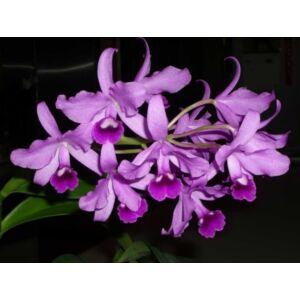 Cattleya bowringiana fiatal orchidea tő