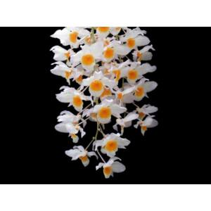 Dendrobium farmeri fiatal orchidea tő