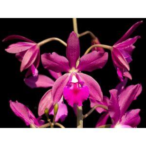 Epic.Plicaboa orchidea