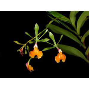 Epidendrum pseudepidendrum fiatal orchidea tő
