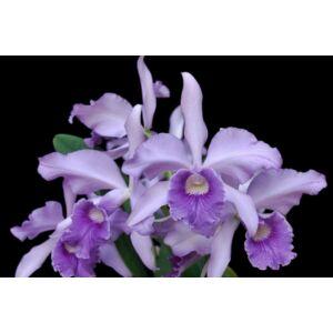 Lc. n. r. (L. purpurata x Lc. Blue Boy) fiatal orchidea tő
