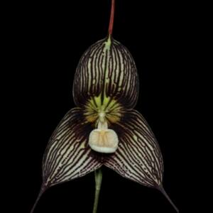Majomorchidea - Dracula vampira