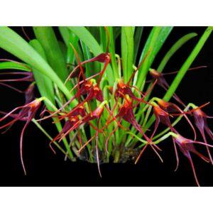 Masdevallia herradurae fiatal orchidea tő