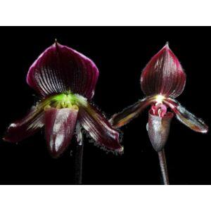 Paph. Dieter Heyde x Senne Moor fiatal orchidea tő