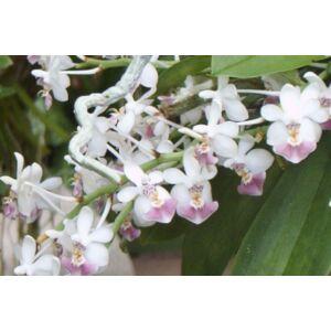 Phalaenopsis parishii orchidea