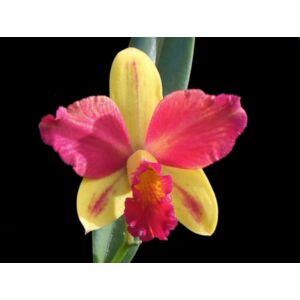 Slc. Gerd Röllke fiatal orchidea tő