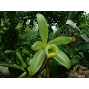 Vanilla fragrans (Vanilla planifolia) fiatal orchidea tő
