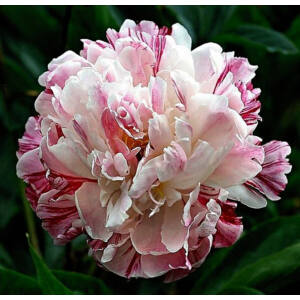 Botanikai Bazsarózsa 'Candy Stripe'