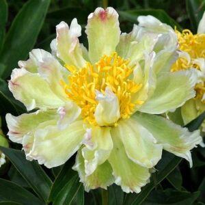 Botanikai Bazsarózsa 'Green Lotus'
