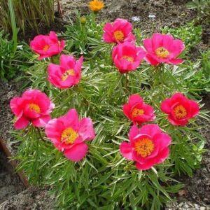 Botanikai Bazsarózsa 'Smouthii'