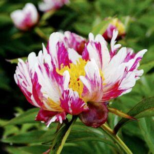 Botanikai Bazsarózsa 'Twitterpated'