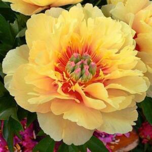Félfás Bazsarózsa 'Garden Treasure'